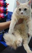 Kucing parsi mix mainecoon
