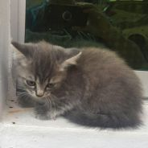 Anak Kucing Parsi DLH
