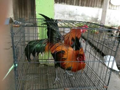 Ayam Kampung Untuk Dijual