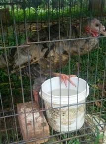 Ayam Belanda Turkey