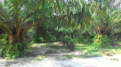 Oil palm land sri pantai