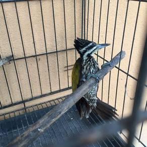 Burung Belatuk