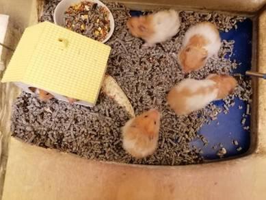 Hamster syrian utk dilepaskan