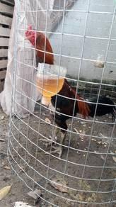 Ayam jantan laga