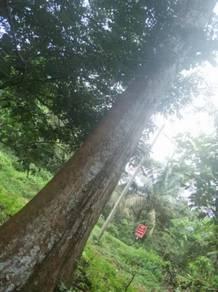 4acre 17year durian orchard /Facing Blacktop Road/TNB&SAJ/Kota Tinggi