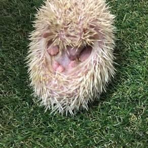 Hedgehog landak mini
