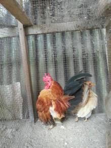 Ayam serama dan arnab
