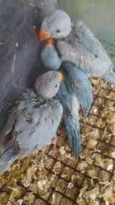 Burung ring neck blue hand feed siap lesen