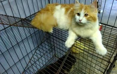 Kucing Parsi