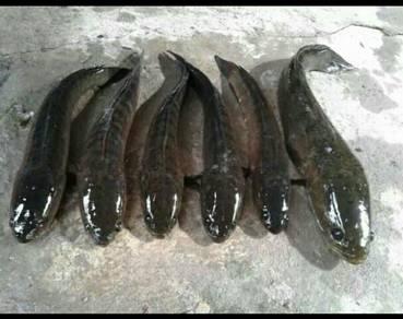 Ikan haruan