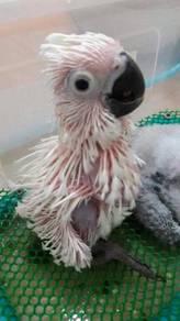 Burung umbrella cockatoo hand feed siap lesen