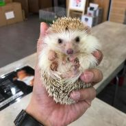Hedgehog (Landak Mini)