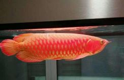 Arowana blood red 3a quality 20 inch