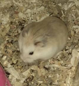 Hamster roborovski husky male female