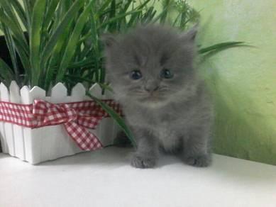 Munchkin non standard kitten