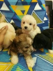 Shipoo puppies Tiny size