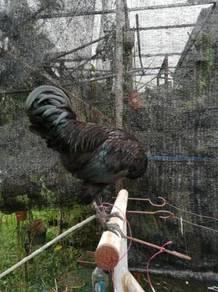 Ayam remain jantan