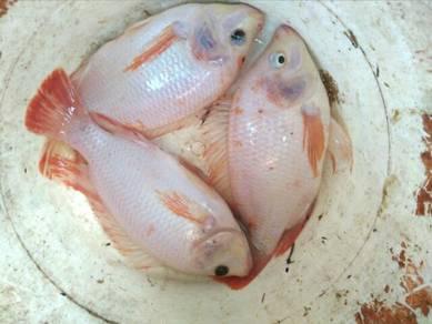 Ikan puyu,talapia dan patin