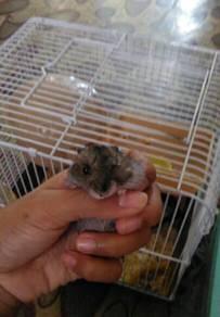 Hamster sepasang