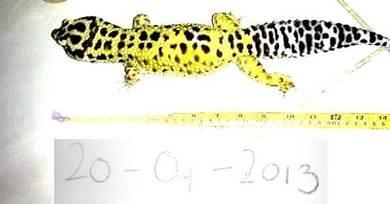 Leopard cicak