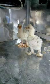Ayam eksotik