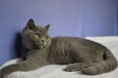 Blue and lilac female bsh