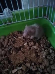 Hamster long haired