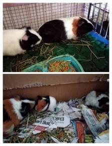 Guinea Pig Buy 1 Free 1