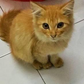 Kucing mix persian mainecoon