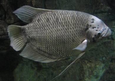 Ikan Kaloi murah2