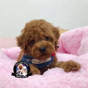 Pity face tiny toy poodle