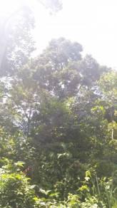 Dusun atau kebun durian di kg sg rotan titi jelebu