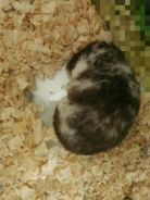 Hamster Syrian DS color - betina