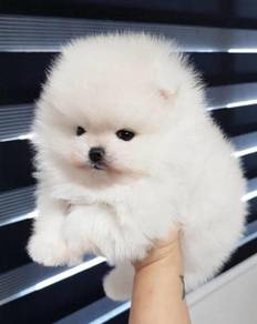 Pomeranian puppy ( male )