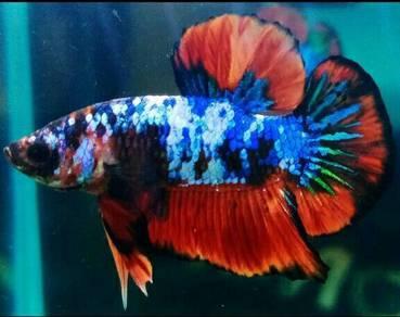 Ikan laga /betta fish