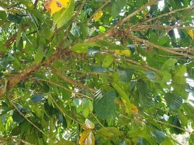 9.8 acres Freehold Land/Durian and fruits/Town/Houses/ Kota Tinggi