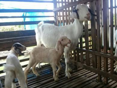 3 Beranak kambing savana boer ori