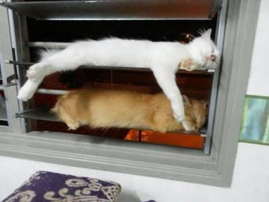 Anak Kucing DLH untuk dijual