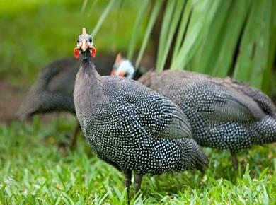Ayam mutiara (guinea fowl) medium size