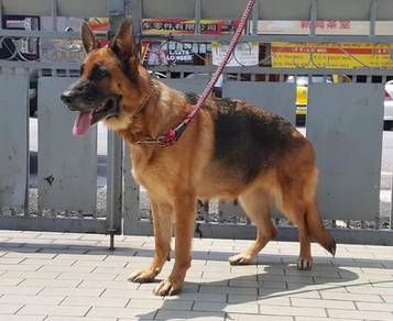 Adult German Shepherd 3years