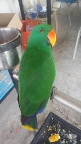 Burung electus Carolina jinak siap lesen