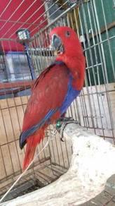 Burung electus female jinak siap lesen