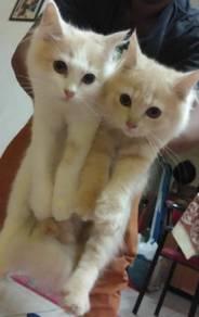 Kitten Persian Domestik