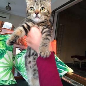 American Shorthair Cat / Kucing Whiskas