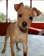 Cute Tiny Size Mini Pinscher Puppy Sale Pure Breed