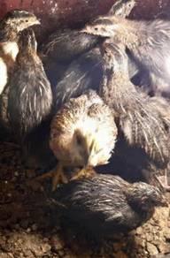 Burung Puyuh