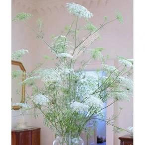 20pcs Ammi Visnaga flower Seeds