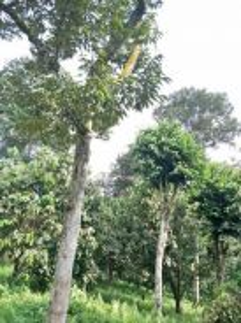 (9.88 acre) Musang King Durian, Orchard farm Kulai