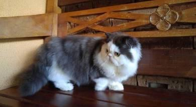 Kucing parsi persian