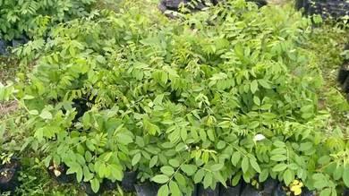Pokok Indigofera untuk ternakan protein tinggi